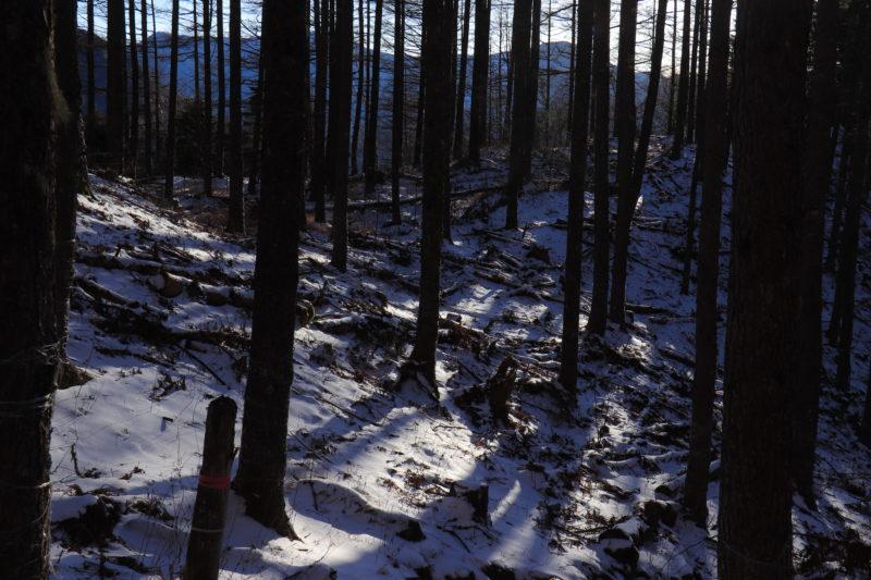 冬の針葉樹林